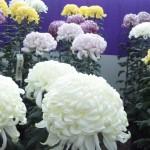 菊の種類は名前や花の形、季節で分かれる!色別の花言葉は?