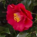 椿の種類!名前や花言葉は?茶花に使う侘助の種類は?