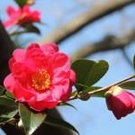 山茶花と椿の違いや見分け方!開花時期や花言葉、種類は?