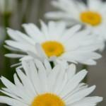 マーガレットの色別花言葉!意味や由来は?匂いが変で似てるものは?