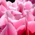 シクラメンの花言葉の意味!ピンクや白、赤の由来は?開花時期は?