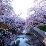 日本の桜の品種!早咲きの時期や咲き分けする桜の種類は?