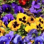 パンジーの花言葉!色の種類で違う!?似た花との違いは大きさ?