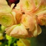 ラナンキュラスの色別の花言葉!開花や植え付け時期はいつ?