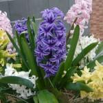 ヒヤシンスの花言葉!色別では?その意味や由来、開花時期は?