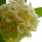 沈丁花の花言葉の意味や由来!香水などプレセントにおすすめ!