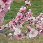 桃の花の季節・時期!花言葉の由来は?イベントやスポットは?