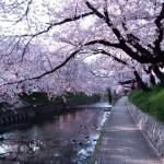 熱海桜まつりの時期はいつごろ?桜の種類や見どころは?