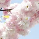 八重桜の花言葉や開花時期!八重桜の品種や名所・スポットは?