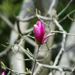 モクレンの花言葉の意味や名前の由来!花の色で種類や品種は違う!?