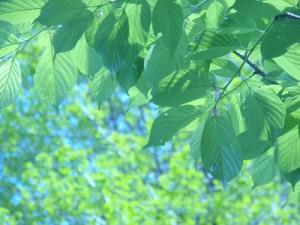 初夏の葉っぱの画像