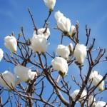 モクレンとコブシの特徴や開花時期の違い!見分け方や区別方法は?