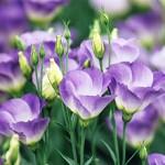 トルコギキョウの色別の花言葉!その意味や由来、開花時期や品種は?