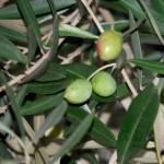 オリーブの実の栄養やカロリー!オイルは選び方で効能や効果が違う?