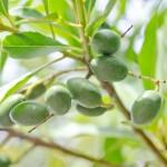 オリーブの種類や見分け方!実がなる品種や樹形の特徴は?