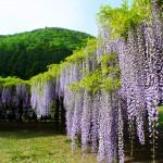 藤の花言葉の由来!別名や開花時期、ツルのまき方で種類が違う?