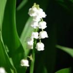 すずらんの育て方!花が咲かない原因や日常の管理方法!増やし方は?