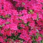 さつきの花言葉の意味!名前の由来や種類、つつじとの違いは?