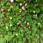 グリーンカーテンの作り方!果物や野菜、花が咲く種類は?