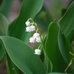 すずらんの花言葉はフランスと日本で違う!?意味や開花時期は?