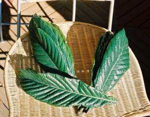 びわの葉の画像