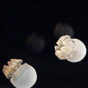 ミズクラゲの画像