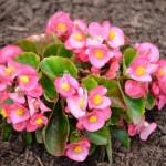 ベゴニアの色別の花言葉!その意味や由来は?種類や開花時期は?