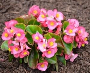 なにそれ倶楽部                                                                ベゴニアの色別の花言葉!その意味や由来は?種類や開花時期は?