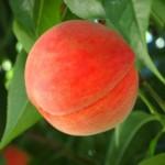桃の食べごろの見分け方と食べ方!皮ごと食べる?アレンジレシピは?