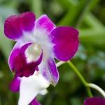 カトレアの色別の花言葉と意味!仲間や種類はどれくらい?