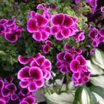 ゼラニウムの色別の花言葉の意味!意外な効能とその種類!