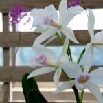 カトレアの育て方!花が咲かないのは植え替え時期のサイン?