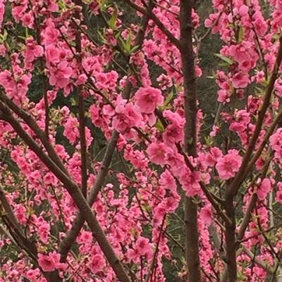 桃の花の画像
