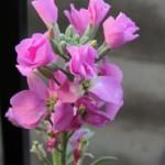 ストックの花言葉に由来する伝説!色別の花言葉の意味は?