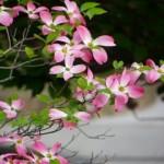 ハナミズキの花言葉と意味!英語では花言葉の意味に違いがある?