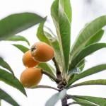 びわの栄養に含まれる効果!葉や種にも驚きの効能が!?