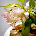 桜の育て方!自宅の庭や盆栽、桜の苔玉を育てるときの注意点