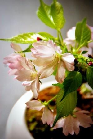 桜の盆栽の画像