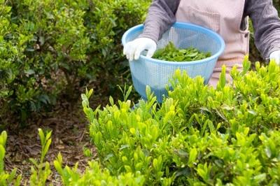 茶摘みの画像
