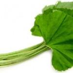 ふきの葉の栄養や効能・カロリー!食べるときは下ごしらえは必要?