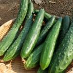 きゅうりの種類はどれくらい?変わった品種や家庭菜園におすすめは?