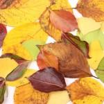 落ち葉の掃除と処理方法!処理した落ち葉は堆肥がおすすめ!