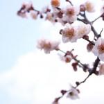 梅の種類!実がなる種類や梅干し、梅酒にいい品種の名前は?