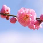 梅の育て方!植え付けや剪定時期、アブラムシが付いた時の対処法
