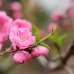 桃の花や木の種類!ひな祭りに使う種類や実がなる種類は?