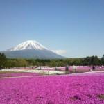 芝桜の開花時期とおすすめの名所!北海道や関東・関西など