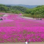 芝桜の種類はどれくらい?品種別の花の色や特徴