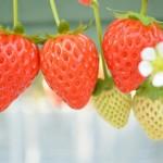 いちごの育て方や増やし方!育てやすい品種や肥料・水やりは?