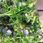 クレソンの育て方!プランターや水耕栽培のポイントや注意する害虫は?