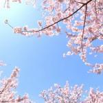 おすすめの桜の香水!手作りもできちゃう!その作り方は?